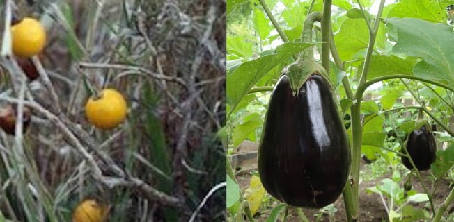 aubergine vild gmo