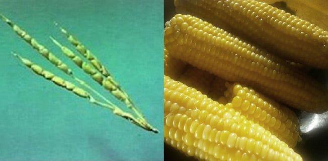 majs vild gmo förr nu