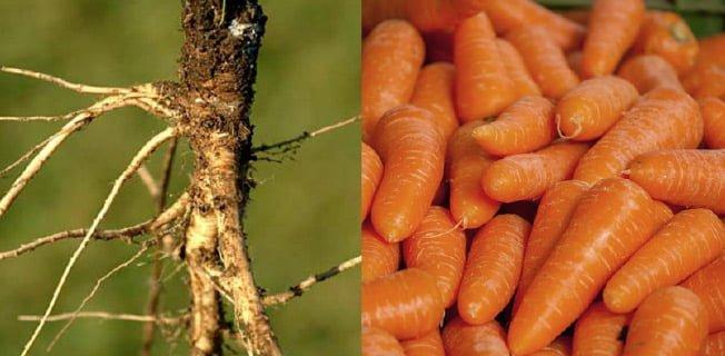 morötter vild gmo förr nu