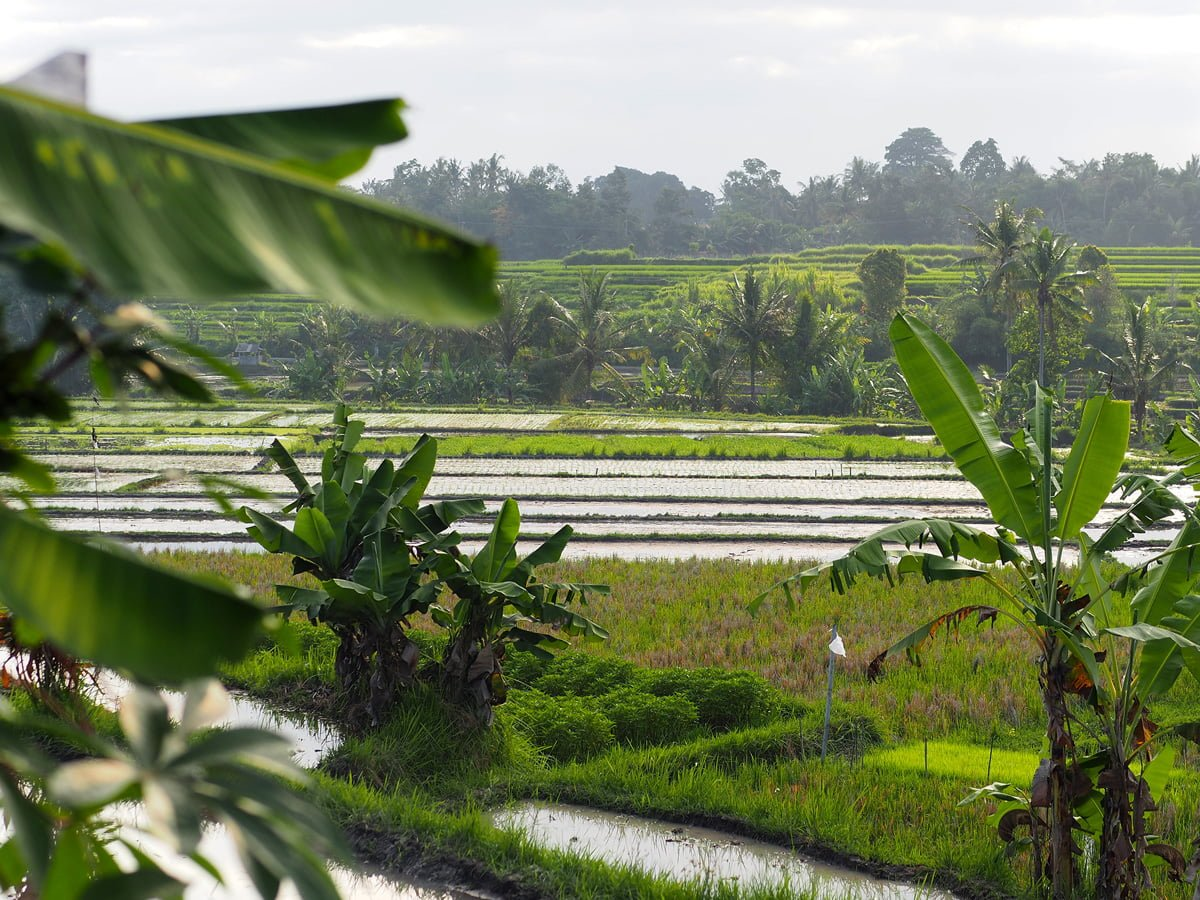 Bali-risfält