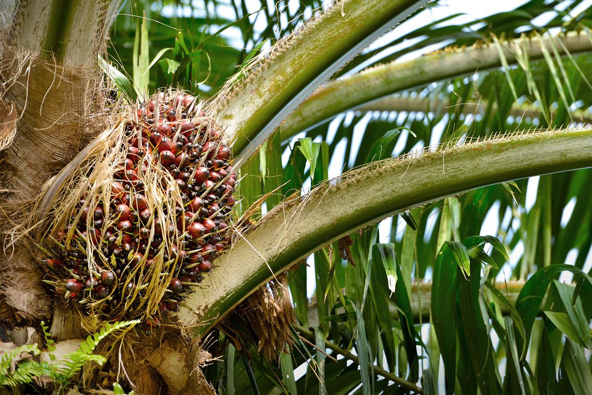 palmolja margarin cancer