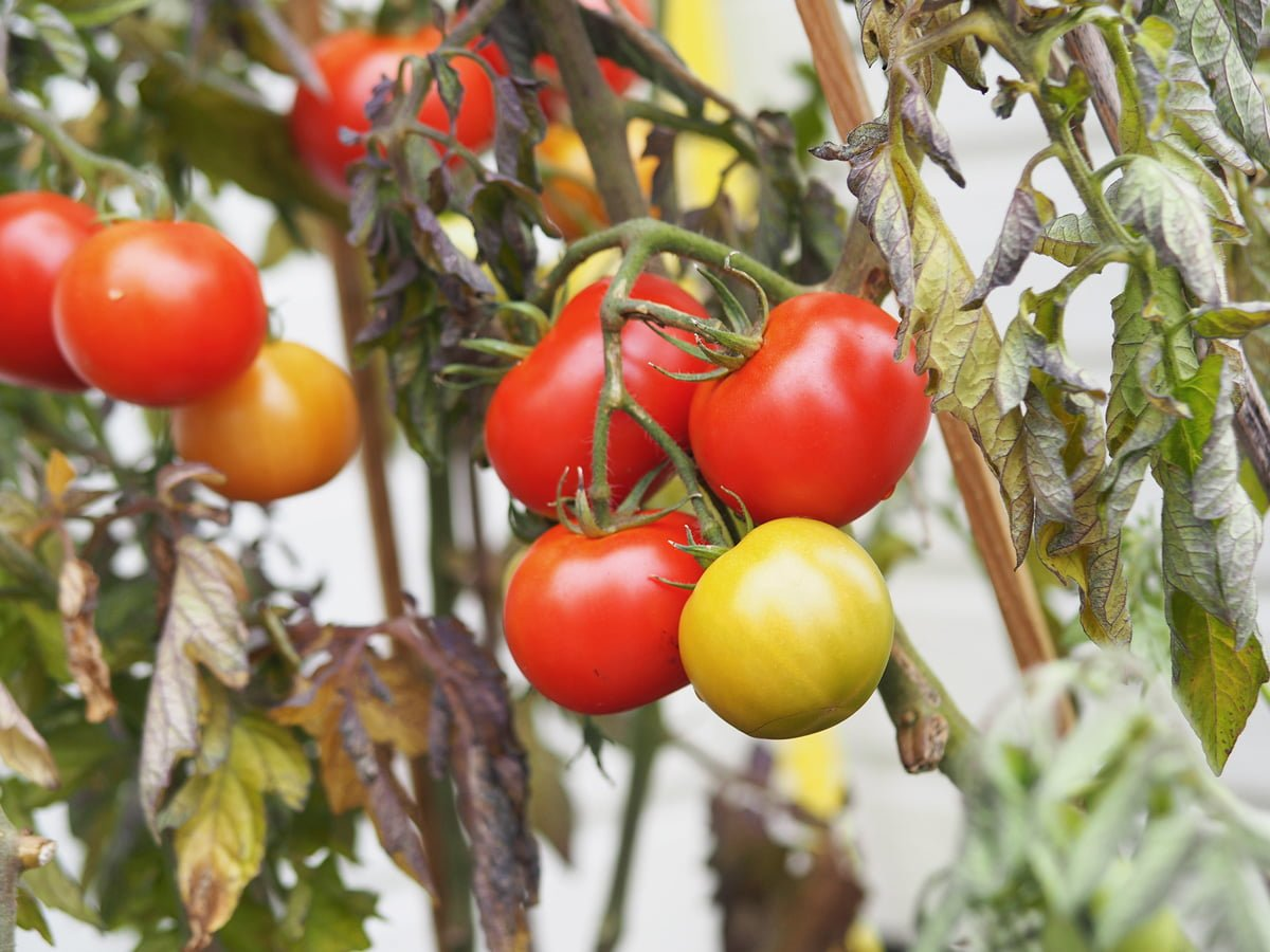 odla tomater utan växthus